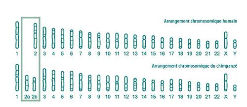 arrangement chromosomique humain - singe