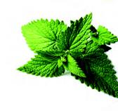 plante spontanée - ORTIE